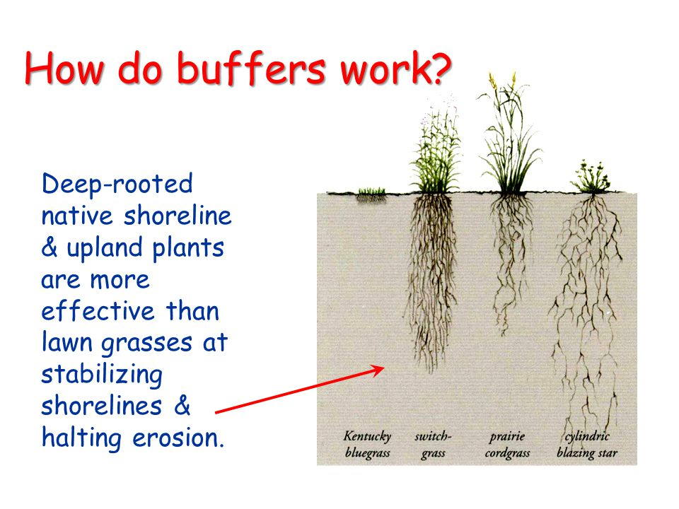 How do buffers work Deep-rooted native shoreline & upland plants are more effective than lawn grasses at stabilizing shorelines & halting erosion.