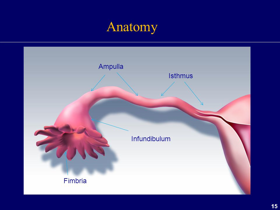 Anatomy Ampulla Isthmus Infundibulum Fimbria