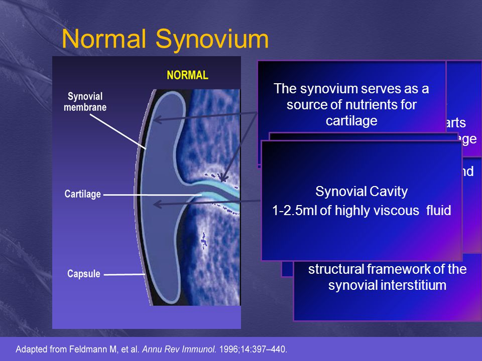 Normal Synovium The synovium serves as a source of nutrients for cartilage.