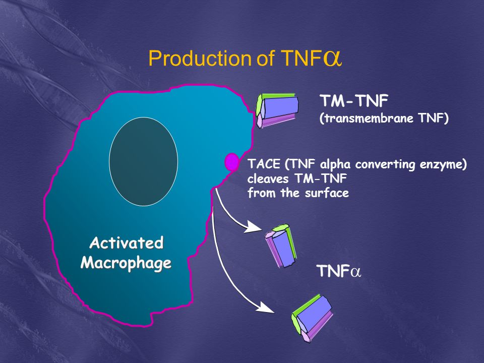 Production of TNF TM-TNF TNF Activated Macrophage Activated
