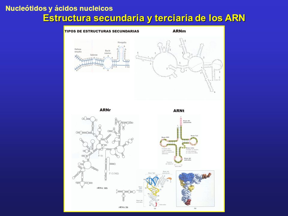 Estructura secundaria y terciaria de los ARN