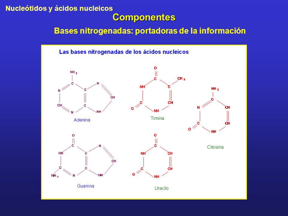 Bases nitrogenadas: portadoras de la información