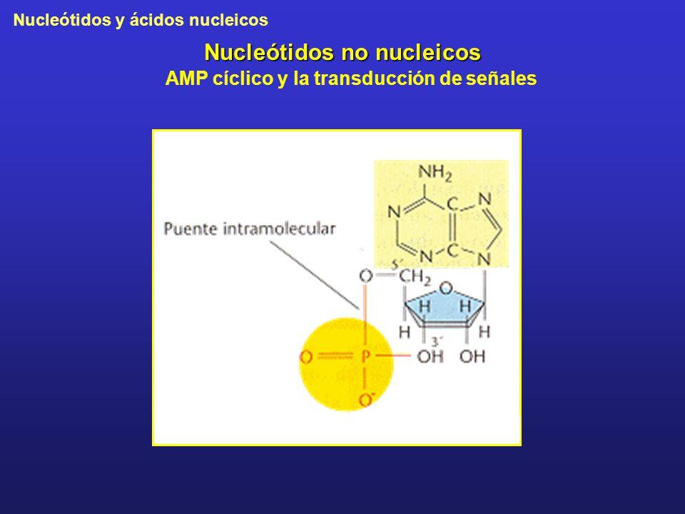 Nucleótidos no nucleicos AMP cíclico y la transducción de señales