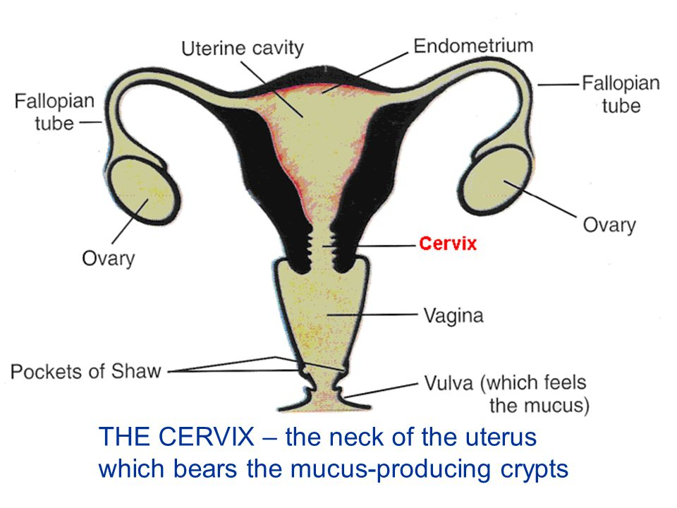 THE CERVIX – the neck of the uterus which bears the mucus-producing crypts