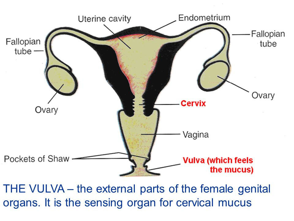 THE VULVA – the external parts of the female genital organs