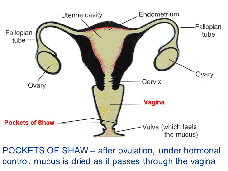 POCKETS OF SHAW – after ovulation, under hormonal control, mucus is dried as it passes through the vagina