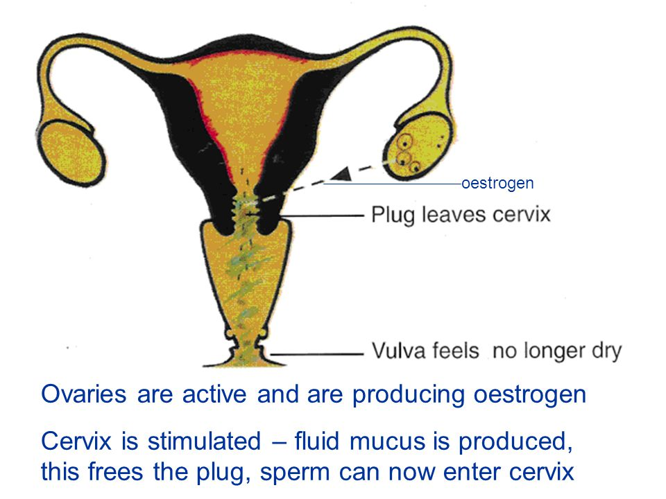 Ovaries are active and are producing oestrogen