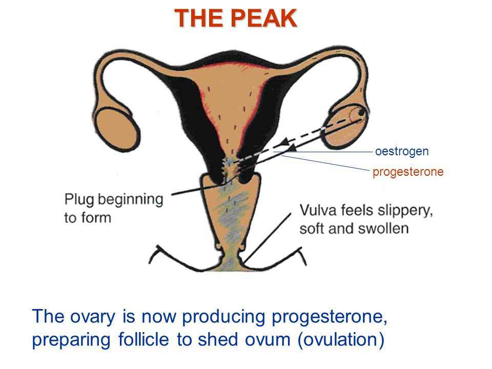 THE PEAK oestrogen. progesterone.