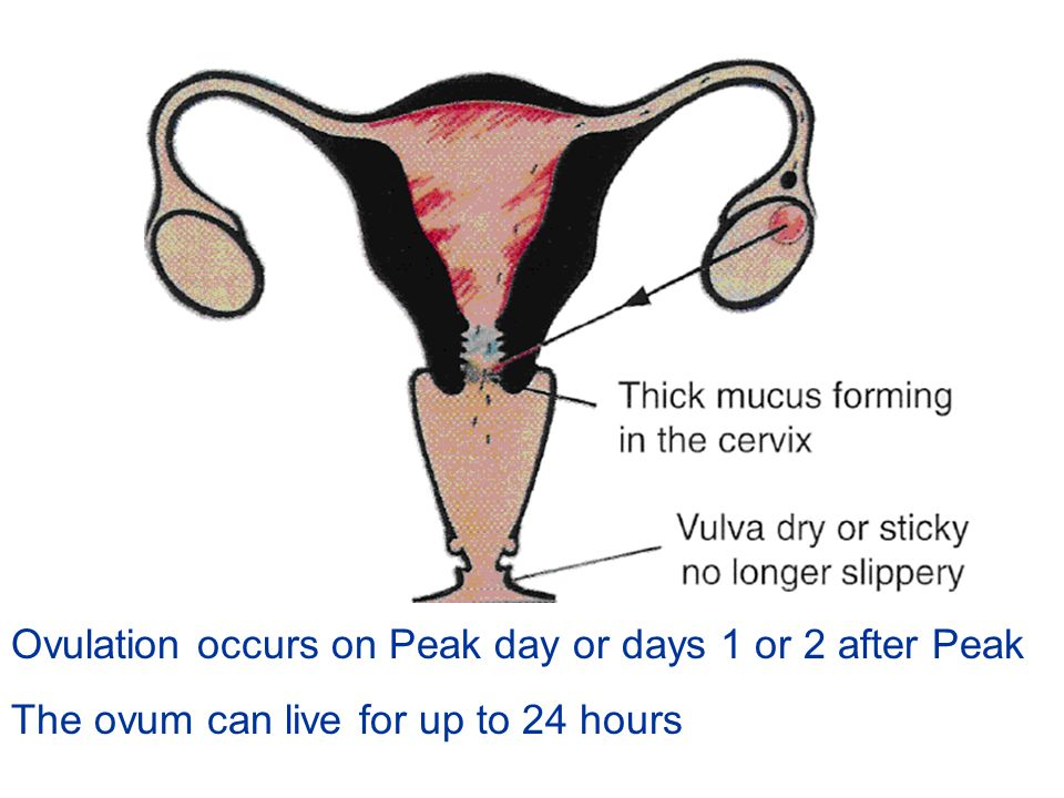 Ovulation occurs on Peak day or days 1 or 2 after Peak