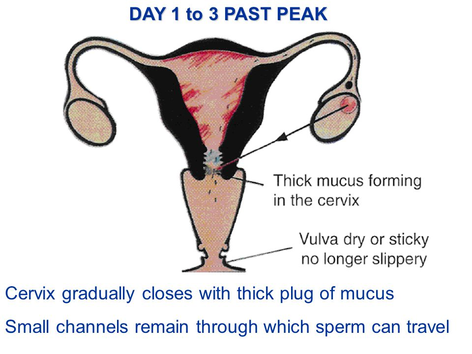 DAY 1 to 3 PAST PEAK Cervix gradually closes with thick plug of mucus.