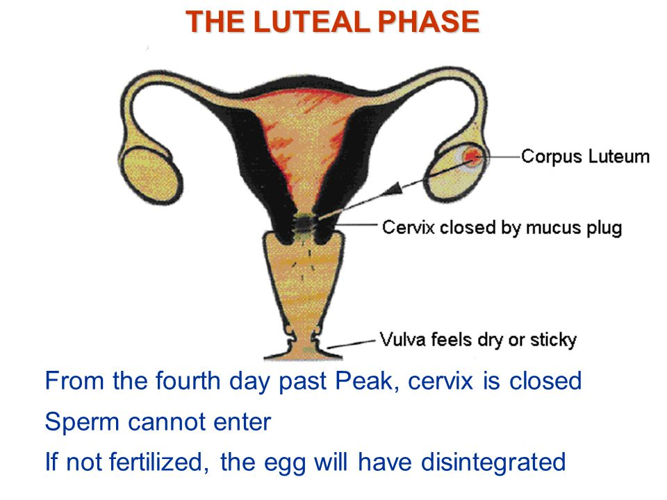THE LUTEAL PHASE From the fourth day past Peak, cervix is closed