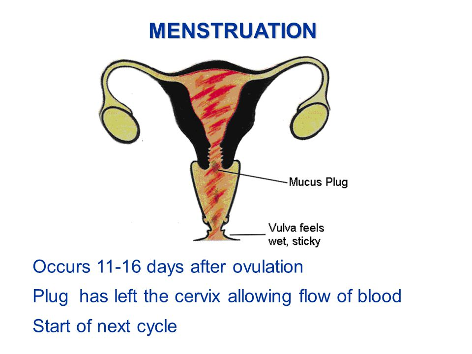 MENSTRUATION Occurs 11-16 days after ovulation