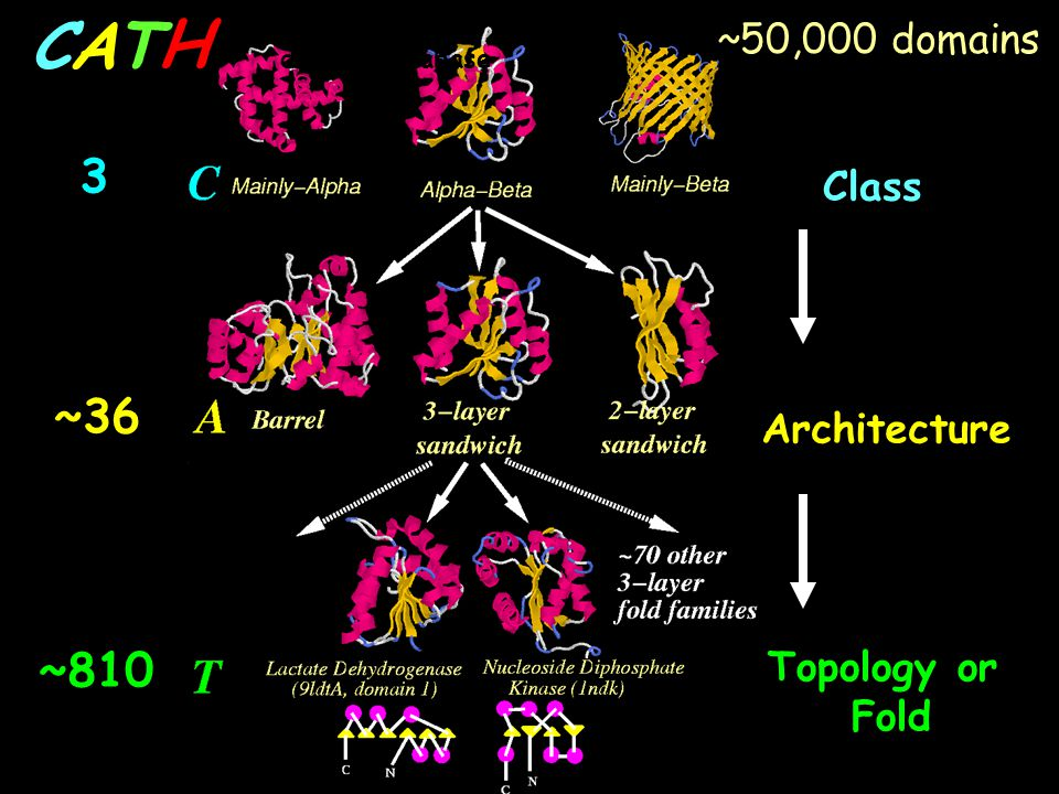 C A T H 3 ~36 ~810 ~50,000 domains Class Architecture Topology or Fold