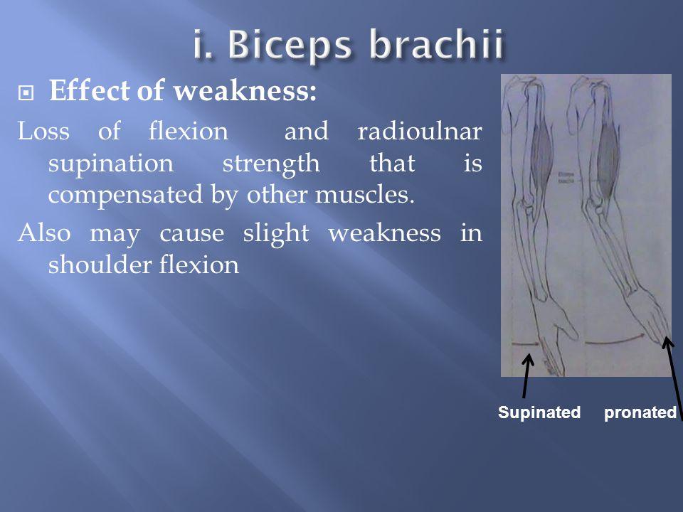 i. Biceps brachii Effect of weakness: