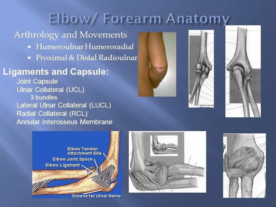 Elbow/ Forearm Anatomy