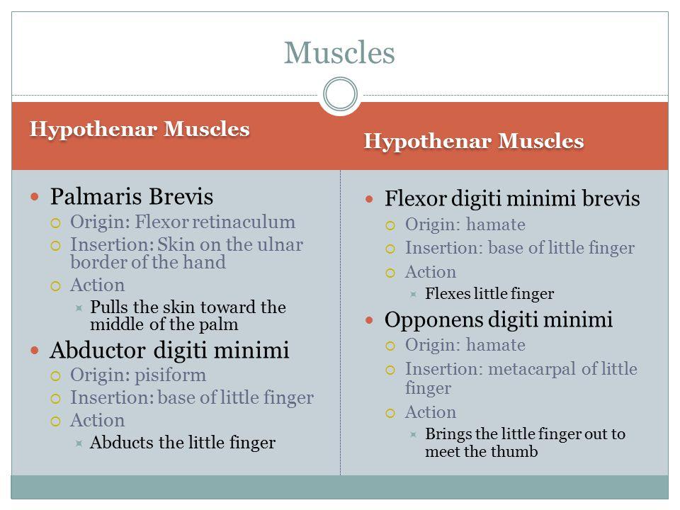 Muscles Palmaris Brevis Abductor digiti minimi