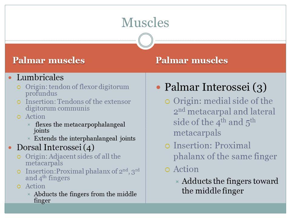Muscles Palmar Interossei (3) Palmar muscles Palmar muscles