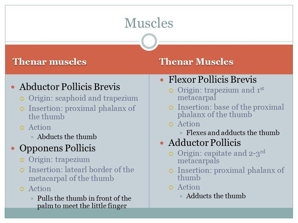 Muscles Flexor Pollicis Brevis Abductor Pollicis Brevis