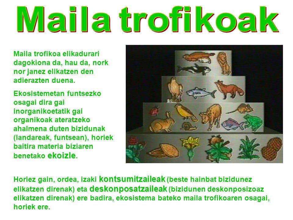 Maila trofikoak Maila trofikoa elikadurari dagokiona da, hau da, nork nor janez elikatzen den adierazten duena.