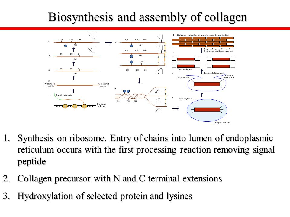 Biosynthesis and assembly of collagen