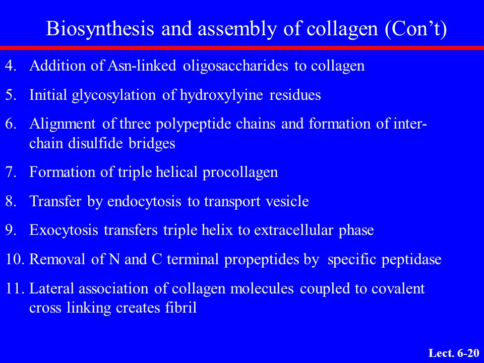 Biosynthesis and assembly of collagen (Con't)