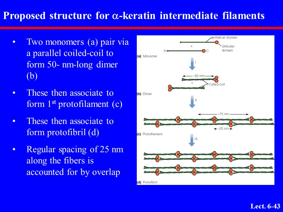 Proposed structure for a-keratin intermediate filaments