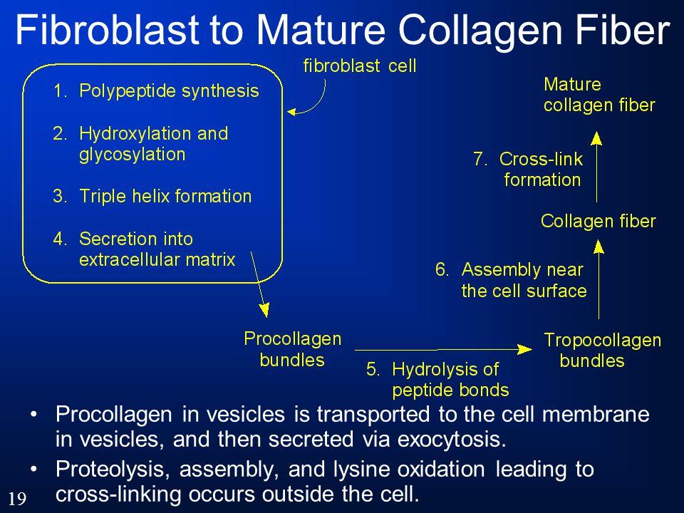 Fibroblast to Mature Collagen Fiber