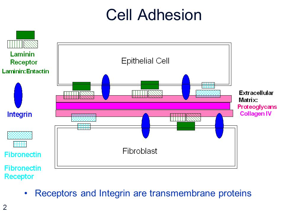 Cell Adhesion Receptors and Integrin are transmembrane proteins 2
