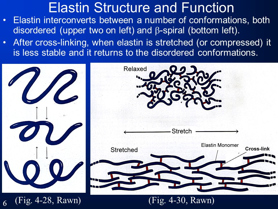 Elastin Structure and Function