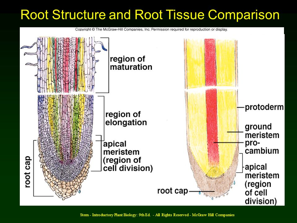 Root Structure and Root Tissue Comparison