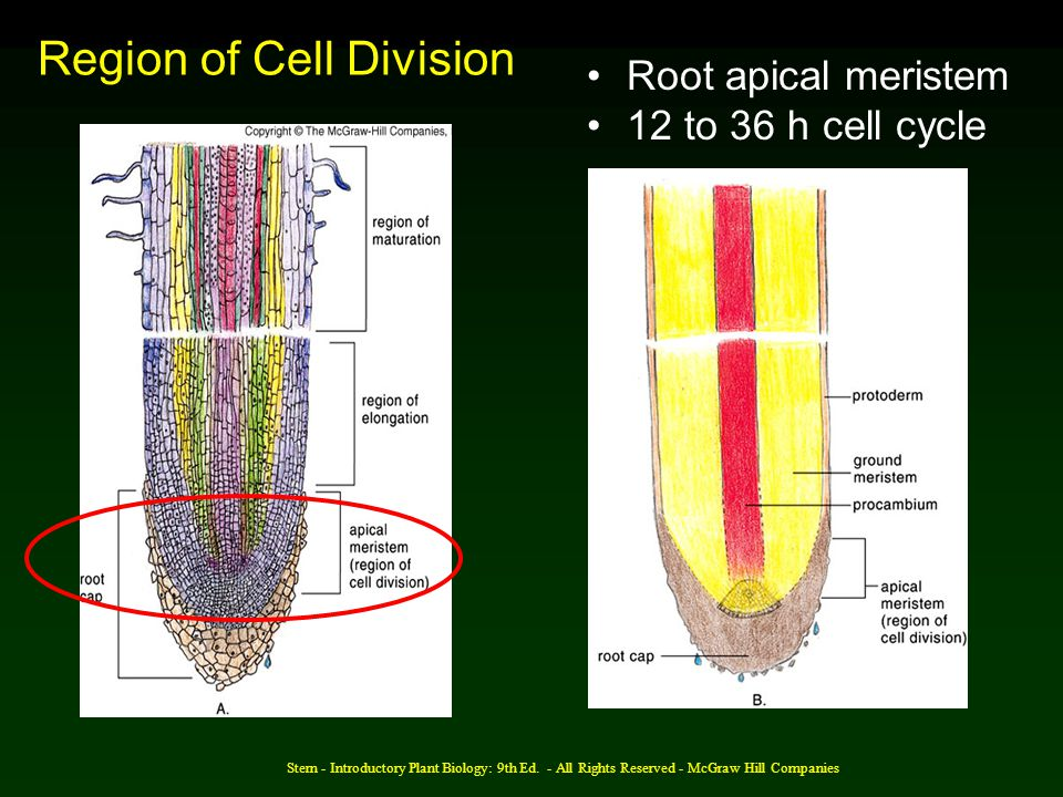 Region of Cell Division