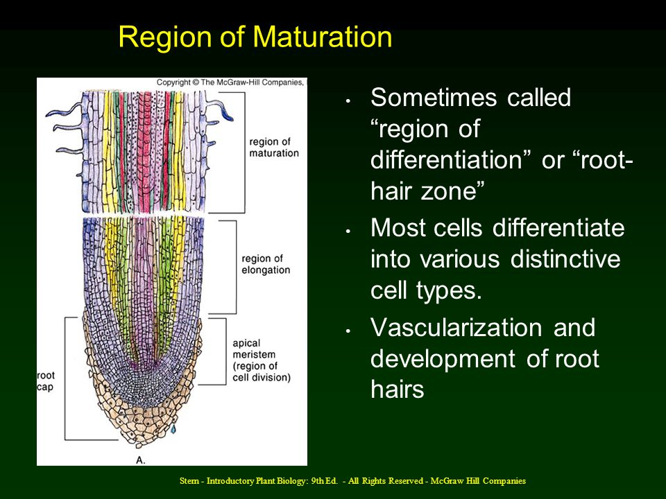 Region of Maturation Sometimes called region of differentiation or root-hair zone Most cells differentiate into various distinctive cell types.