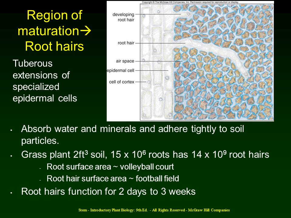 Region of maturationRoot hairs