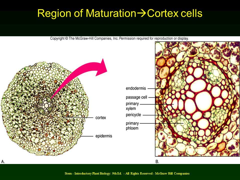 Region of MaturationCortex cells