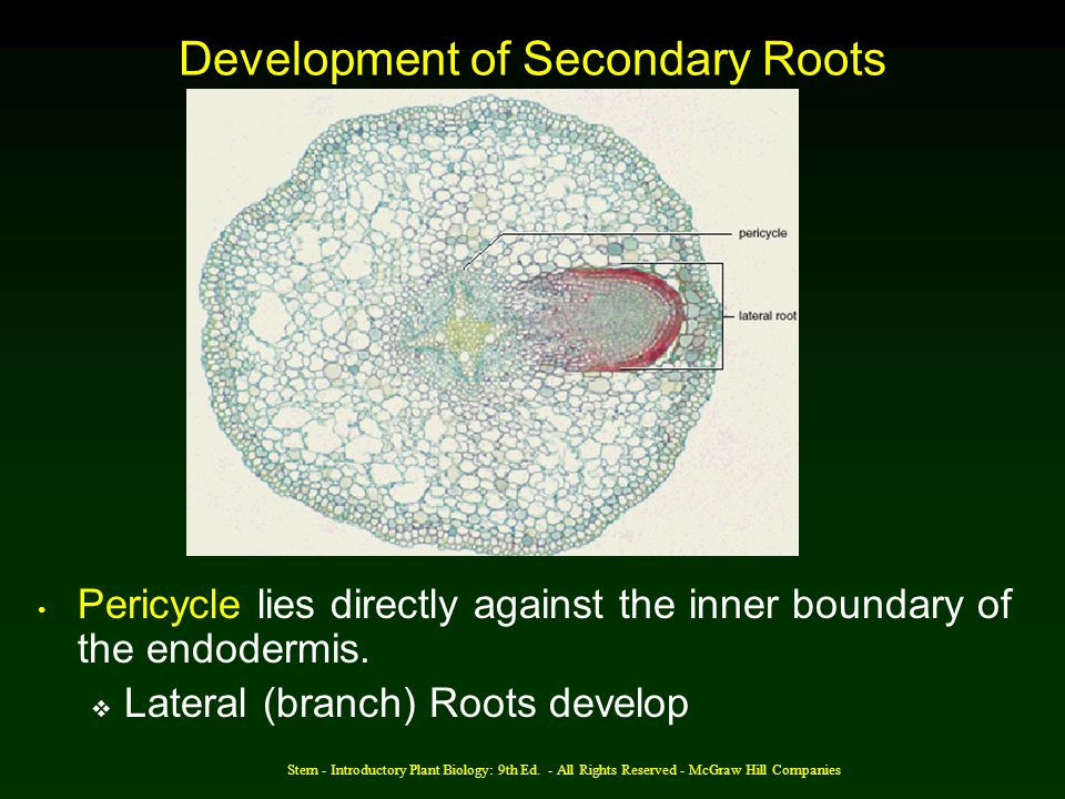 Development of Secondary Roots