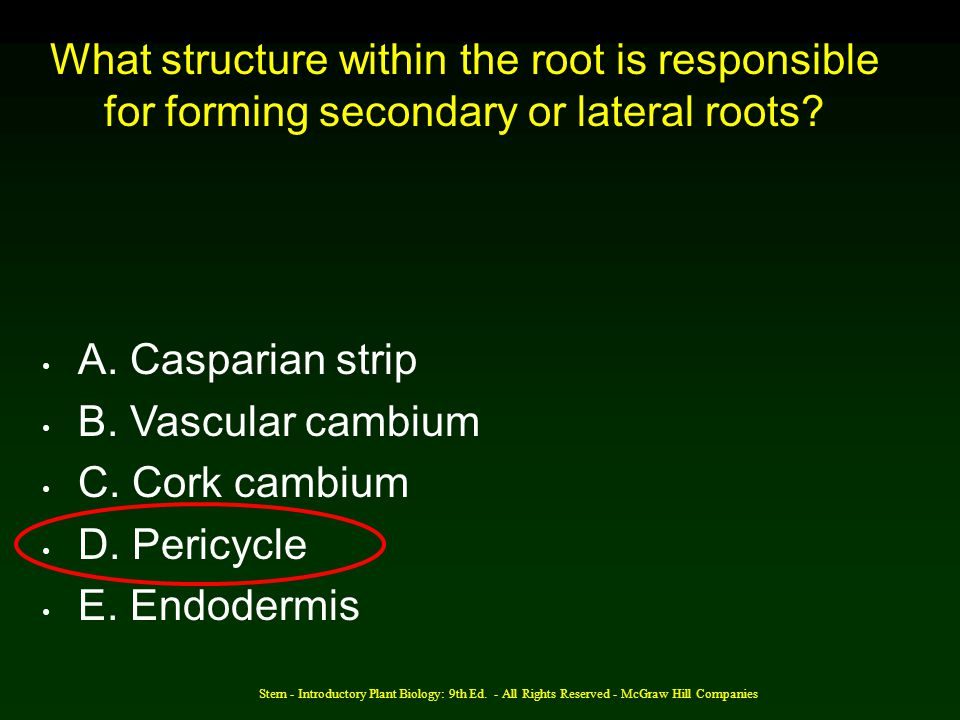 What structure within the root is responsible for forming secondary or lateral roots