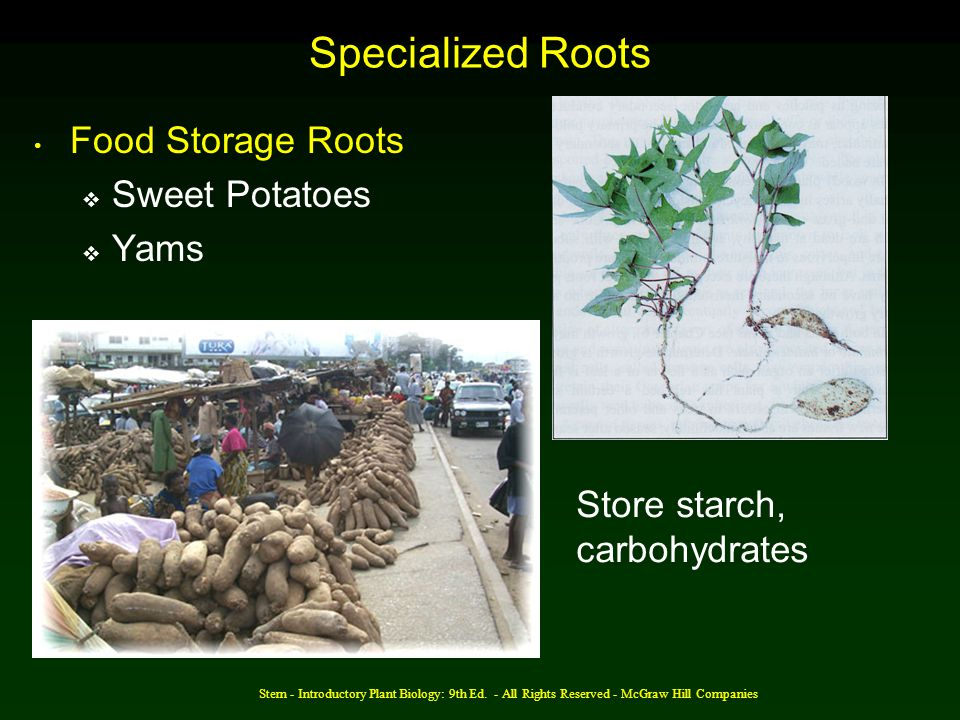 Specialized Roots Food Storage Roots Sweet Potatoes Yams
