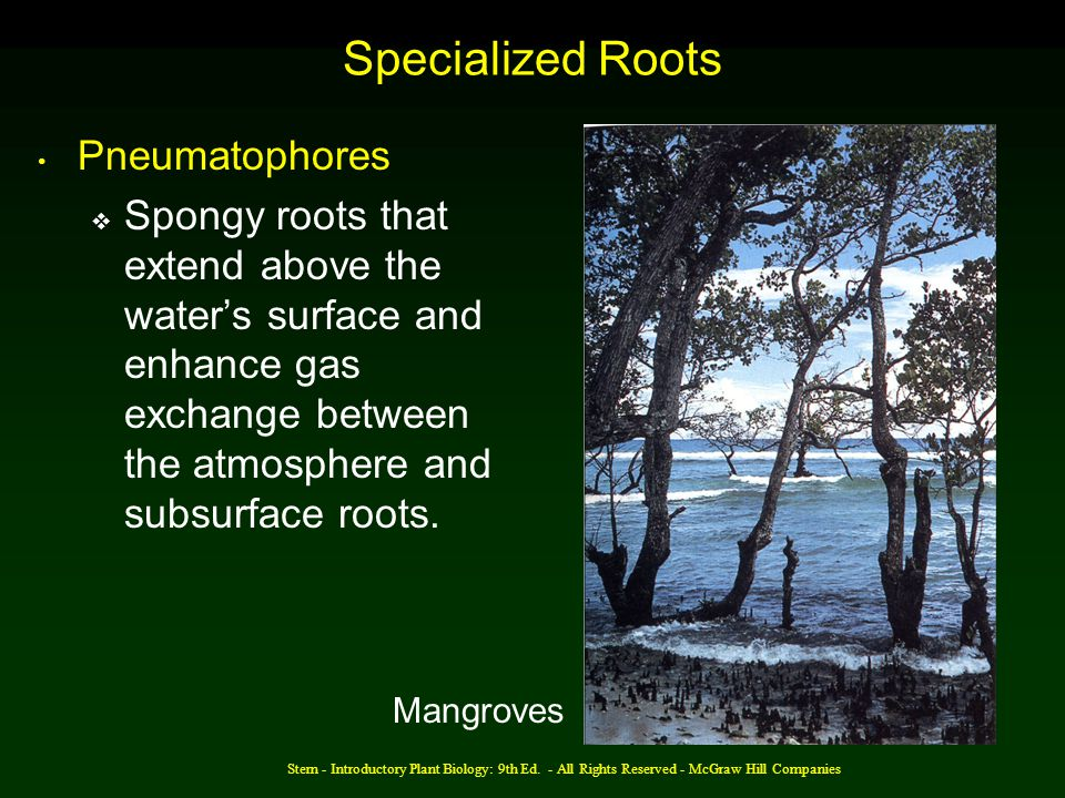 Specialized Roots Pneumatophores