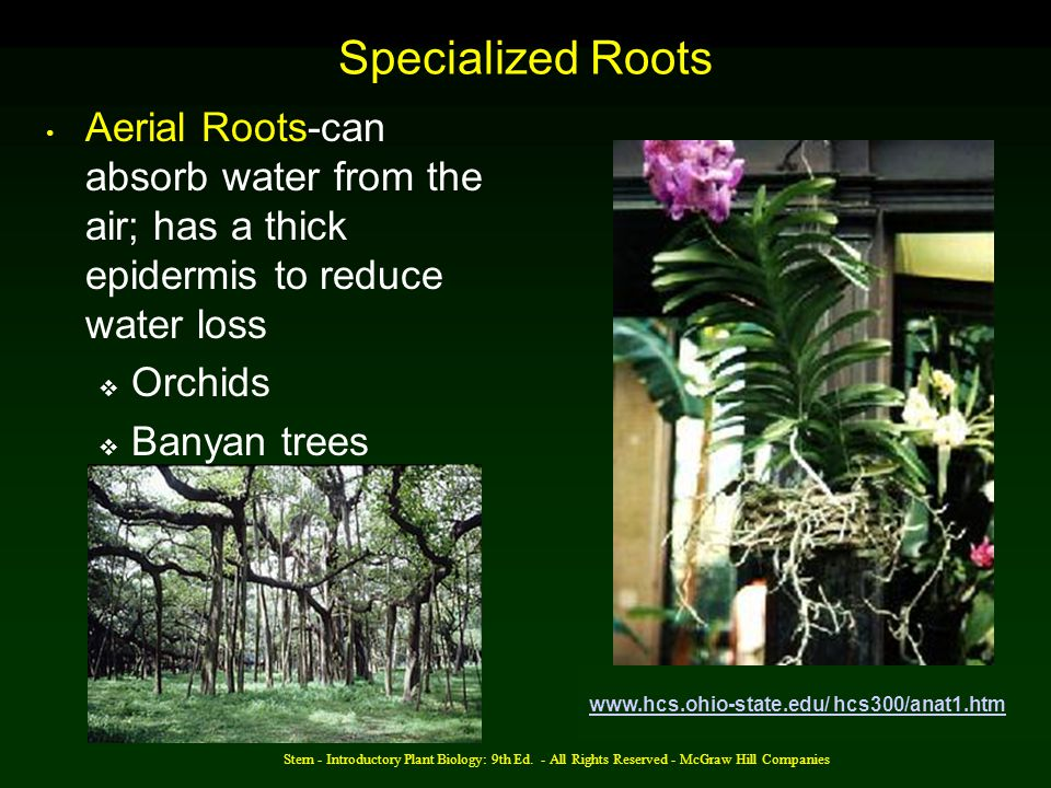 Specialized Roots Aerial Roots-can absorb water from the air; has a thick epidermis to reduce water loss.