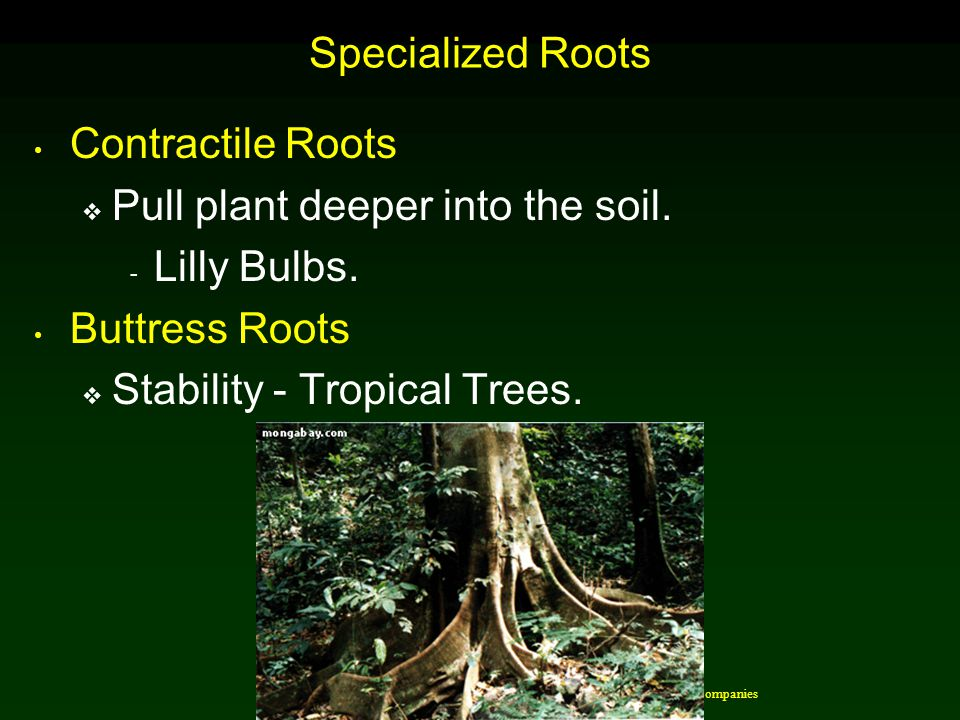 Pull plant deeper into the soil. Lilly Bulbs. Buttress Roots