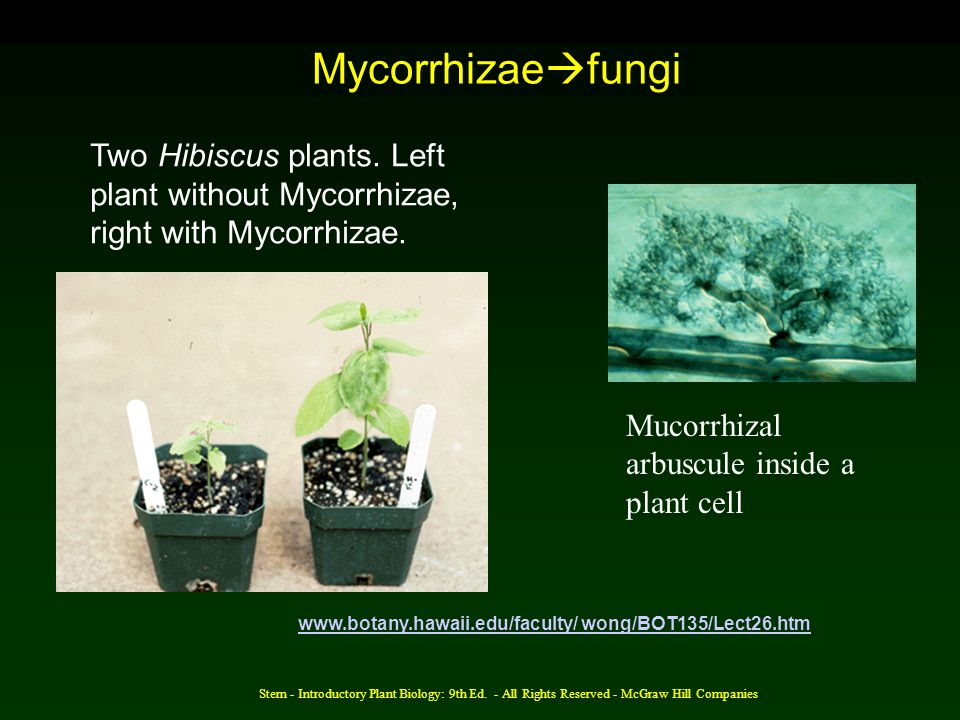 Mycorrhizaefungi Two Hibiscus plants. Left plant without Mycorrhizae, right with Mycorrhizae. Mucorrhizal arbuscule inside a plant cell.