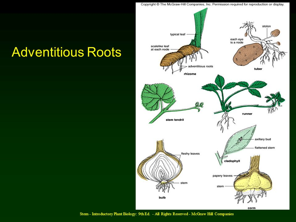 Adventitious Roots Stern - Introductory Plant Biology: 9th Ed.