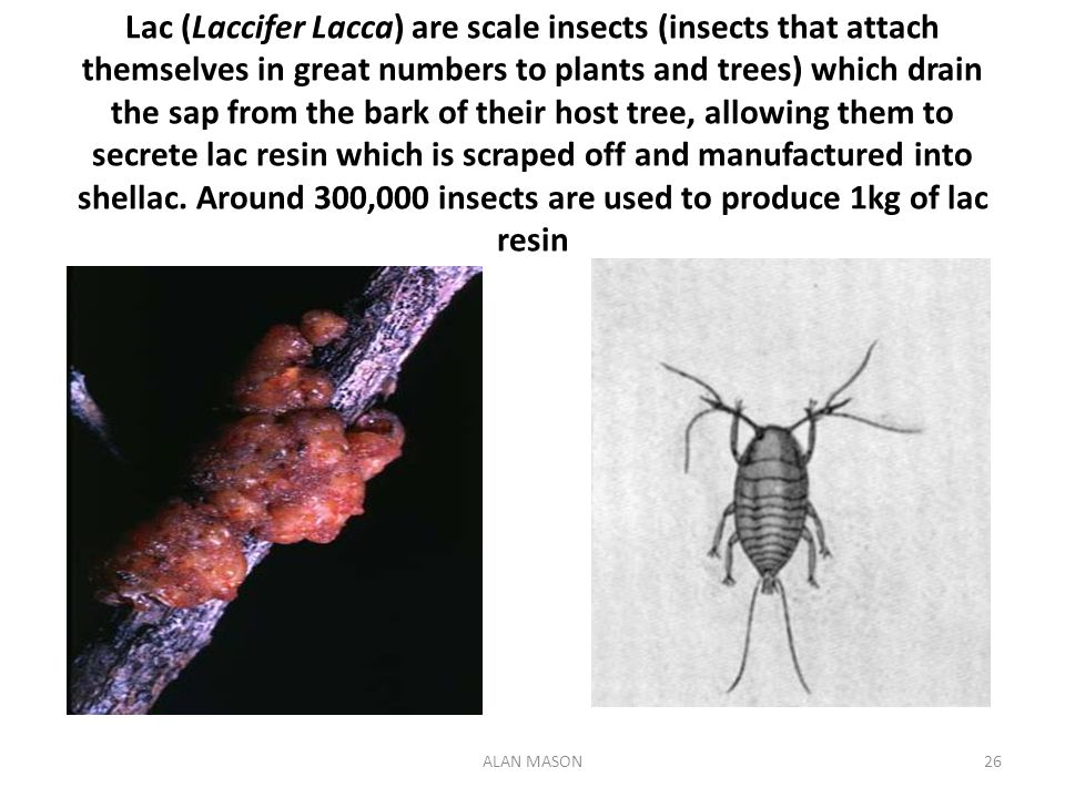 Lac (Laccifer Lacca) are scale insects (insects that attach themselves in great numbers to plants and trees) which drain the sap from the bark of their host tree, allowing them to secrete lac resin which is scraped off and manufactured into shellac. Around 300,000 insects are used to produce 1kg of lac resin