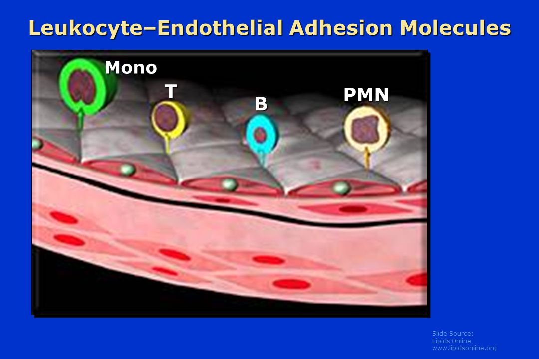 Leukocyte–Endothelial Adhesion Molecules