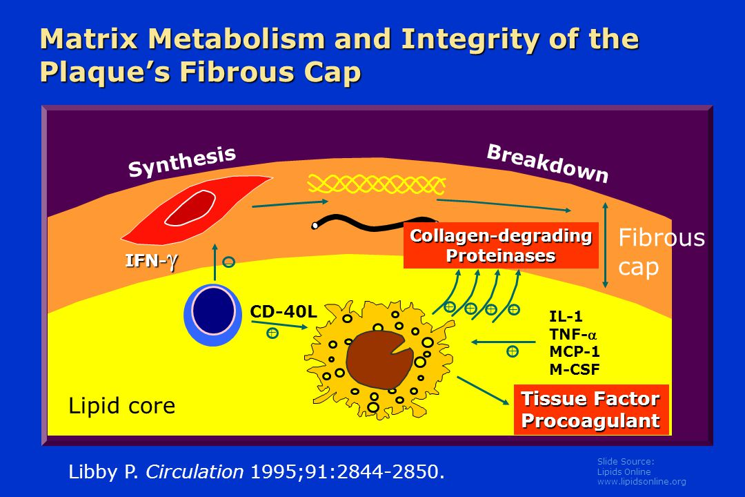 Matrix Metabolism and Integrity of the Plaque's Fibrous Cap