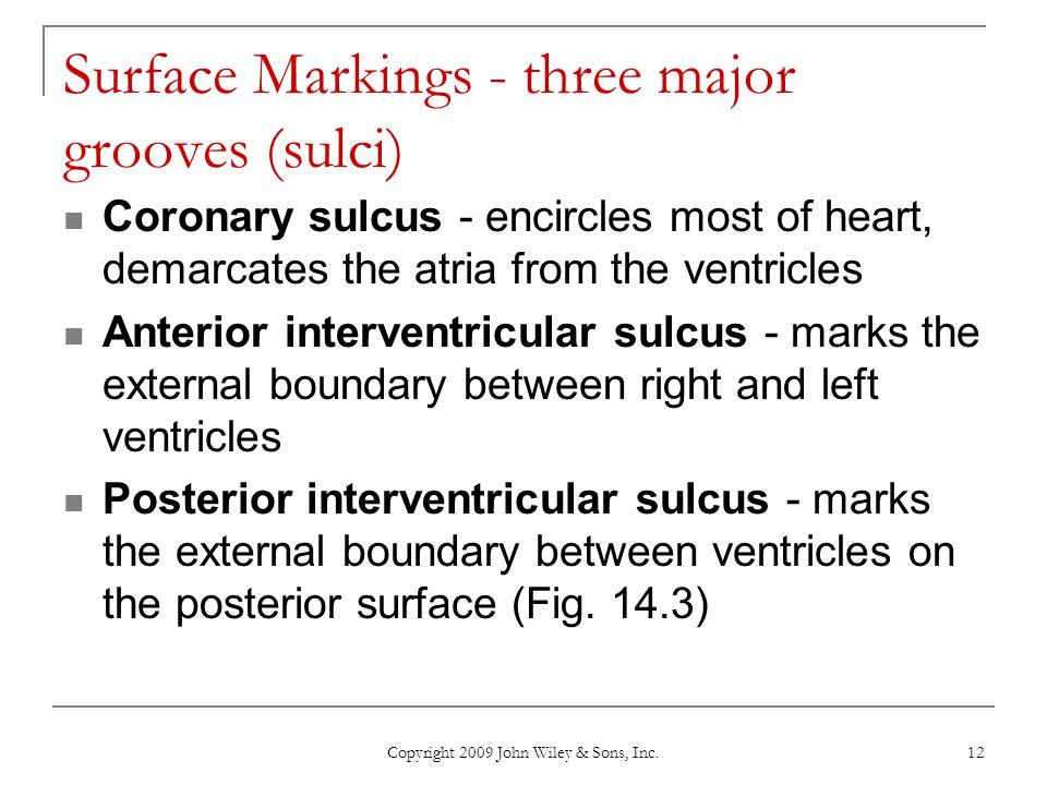 Surface Markings - three major grooves (sulci)