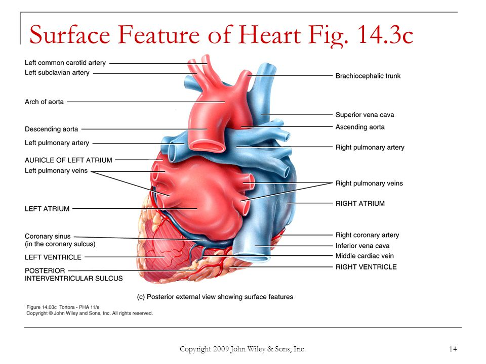 Surface Feature of Heart Fig. 14.3c