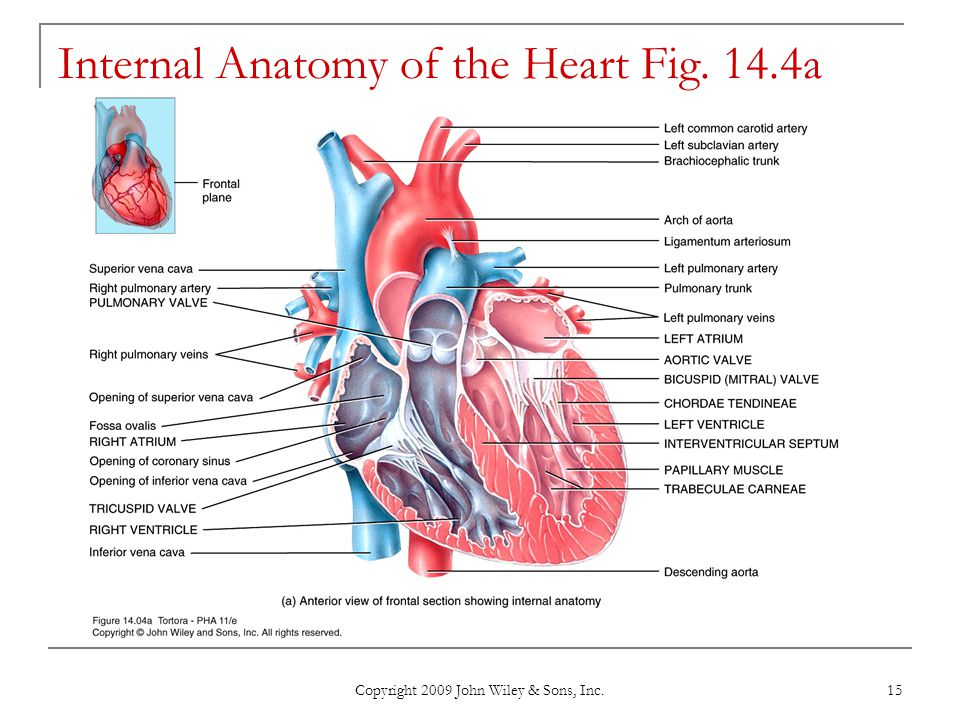 Internal Anatomy of the Heart Fig. 14.4a