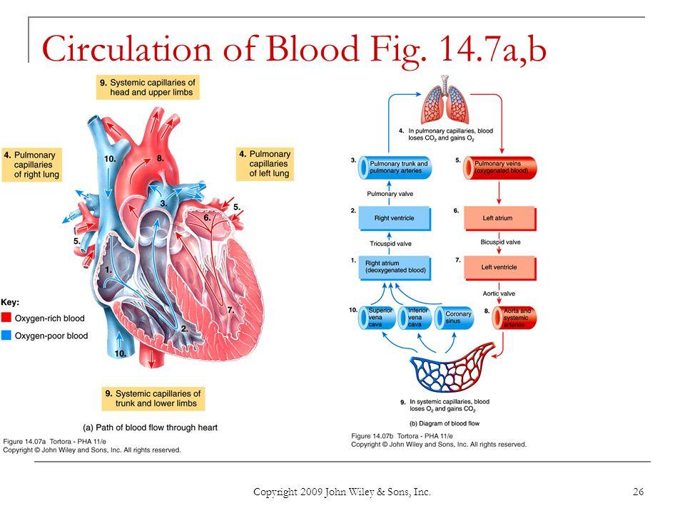 Circulation of Blood Fig. 14.7a,b