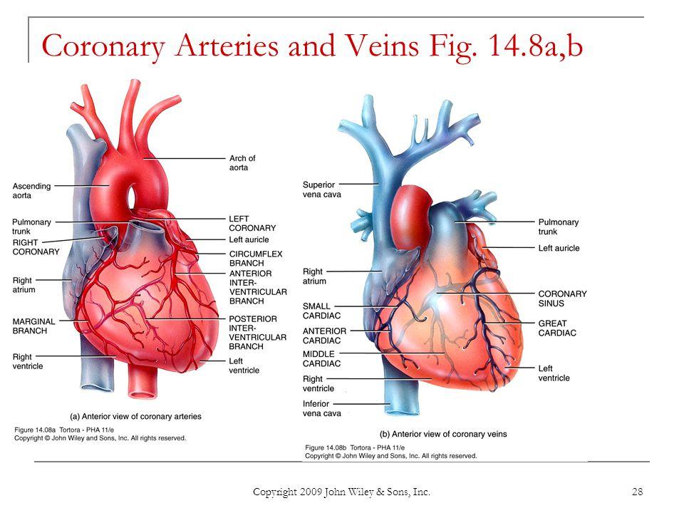 Coronary Arteries and Veins Fig. 14.8a,b